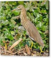 Pond Heron Acrylic Print