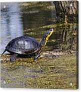 Pond Turtle Basking In The Sun Acrylic Print