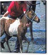 Pony Handler On Assateague Acrylic Print