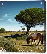 Pony Pasturing Acrylic Print