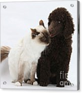 Poodle Pup And Cat Acrylic Print