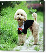 Poodle Wearing Suit Acrylic Print by Photography by Bobi