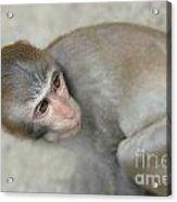 Poor Monkey Acrylic Print