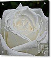 Pope's Rose Acrylic Print