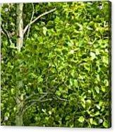 Poplar Tree And Leaves No.368 Acrylic Print