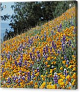 Poppies And Lupine Flowers Blanket Acrylic Print