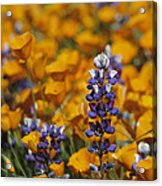 Poppies And Lupine Flowers In A Santa Acrylic Print