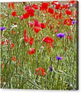 Poppies And Purple Flowers Acrylic Print