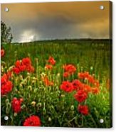 Poppies Before The Rain Acrylic Print