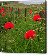 Poppies By The Roadside In Northumberland Acrylic Print