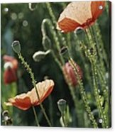 Poppies In A Field In Provence Acrylic Print