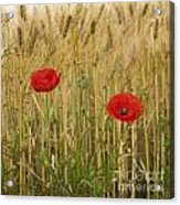 Poppies  In A Field Of Barley Acrylic Print