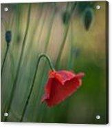 Poppies Mood Acrylic Print