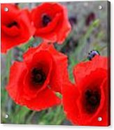 Poppies Of Stone Acrylic Print