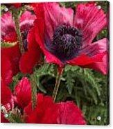 Poppies Rouge Acrylic Print