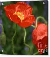 Poppies With Impressionist Effect Acrylic Print