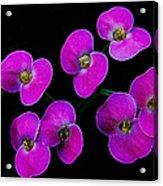 Poppin Pink Petals Acrylic Print
