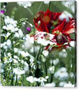 Poppy And White Flowers Acrylic Print