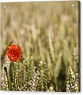 Poppy Flower In Field Of Wheat Acrylic Print