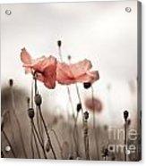 Poppy Flowers 03 Acrylic Print