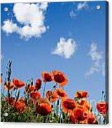 Poppy Flowers 05 Acrylic Print