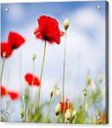 Poppy Flowers 06 Acrylic Print