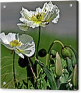 Poppy Flowers Acrylic Print
