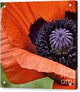 Poppy For Peace Acrylic Print