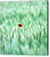 Poppy In Wheat Field Acrylic Print