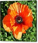 Poppy Blossom Acrylic Print