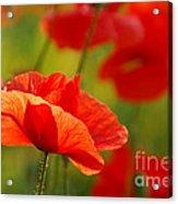 Poppy Love 2 Acrylic Print