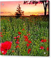 Poppy Patch And Previsualization Acrylic Print