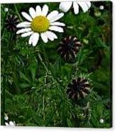 Poppy Pods And Daisy Petals Acrylic Print