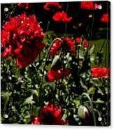 Poppy Pompom Acrylic Print