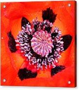 Poppy's Heart Acrylic Print