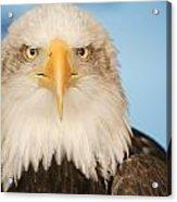 Portrait Of A Bald Eagle Acrylic Print