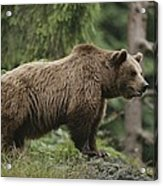 Portrait Of A Brown Bear Acrylic Print