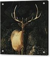 Portrait Of A Bull Elk With Large Acrylic Print by Michael S. Quinton