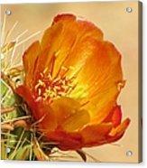 Portrait Of A Cactus Flower Acrylic Print