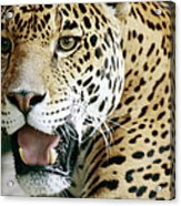 Portrait Of A Captive Jaguar Panthera Acrylic Print