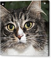 Portrait Of A Cat With Two Toned Eyes Acrylic Print
