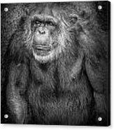 Portrait Of A Chimpanzee Acrylic Print