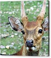 Portrait Of A Deer Acrylic Print