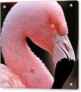 Portrait Of A Flamingo Acrylic Print