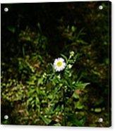 Portrait Of A Flower Acrylic Print