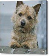 Portrait Of A Norwich Terrier Acrylic Print