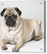 Portrait Of A Pug Dog Acrylic Print