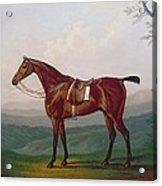 Portrait Of A Race Horse Acrylic Print by Daniel Clowes
