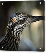 Portrait Of A Roadrunner  Acrylic Print