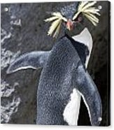 Portrait Of A Rockhopper Penguin Acrylic Print by Kent Kobersteen